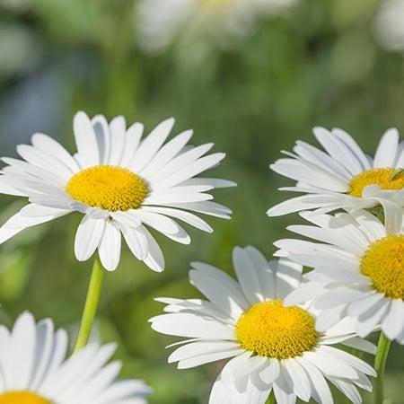 becky shasta daisy in bloom