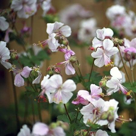 biokovo geranium in bloom