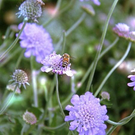 butterfly blue scabiosa in bloom