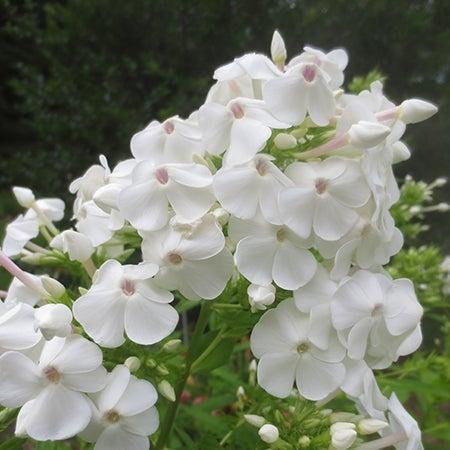 david phlox in bloom - white tall garden phlox