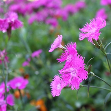 close-up of firewitch dianthus in bloom