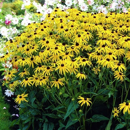 goldsturm black eyed susan in bloom