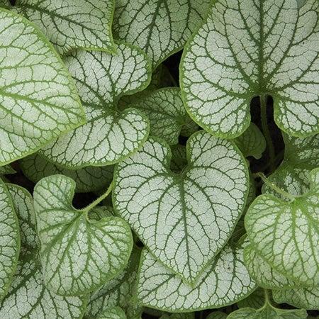 award winning plant jack frost brunnera