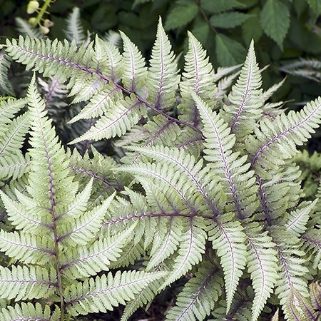 japanese painted fern in the garden
