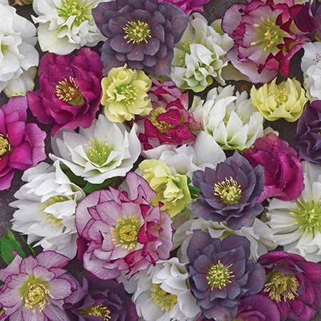 mix of lenten roses in bloom