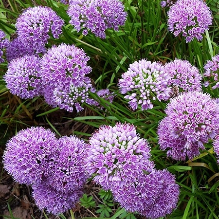 millenium allium in bloom