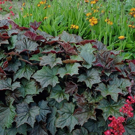 palace purple coral bells in the garden