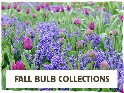 Fall Bulb Collections