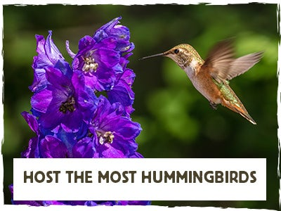 """Host The Most Hummingbirds""  Hummingbird with Delphinium"
