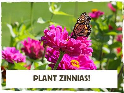"""Plant Zinnias"" Monarch with Pink Zinnia"