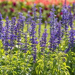 All Individual Wildflower Seed Species American Meadows
