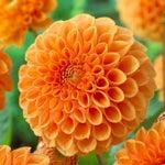 Orange Ball Dahlia