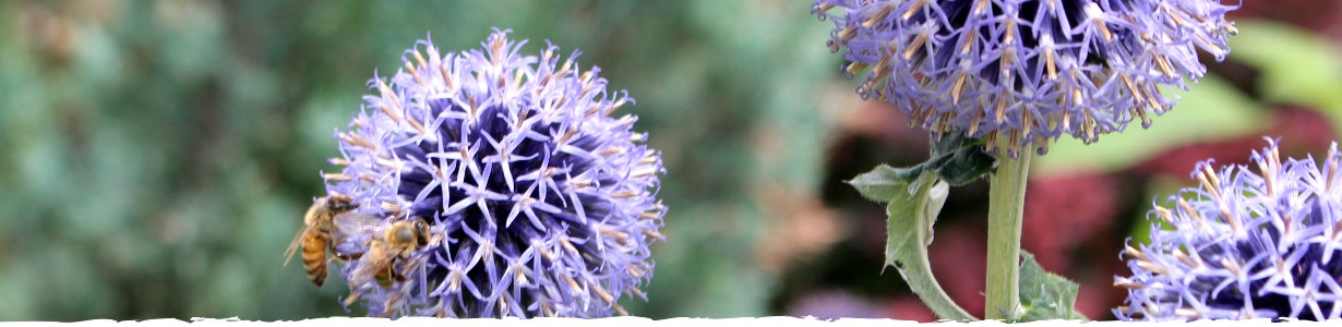 All About Echinops