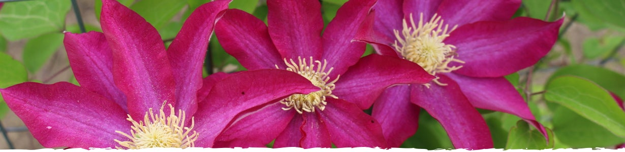 all about clematis banner