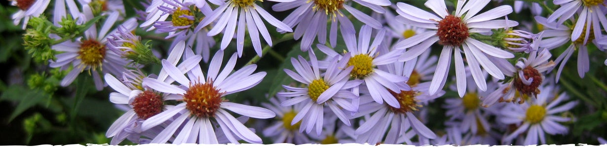 All About Aster