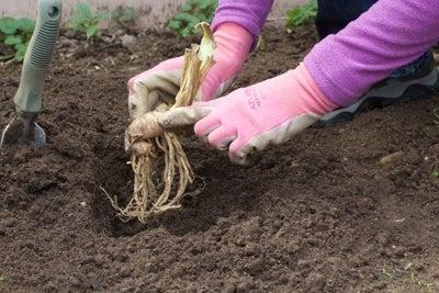 planting bareroot bearded iris