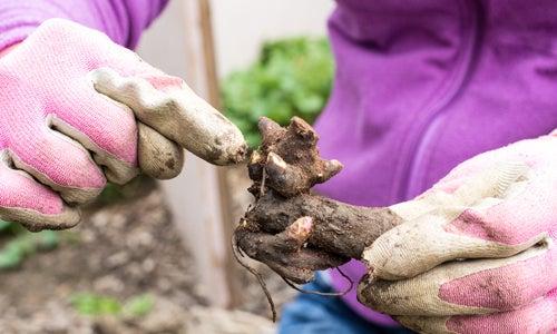 garden peony  bareroot