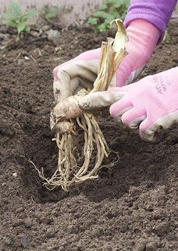 planting rhizomes