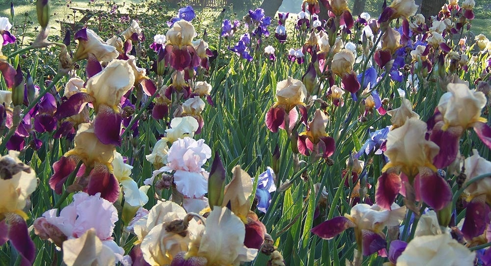 multi colored iris field