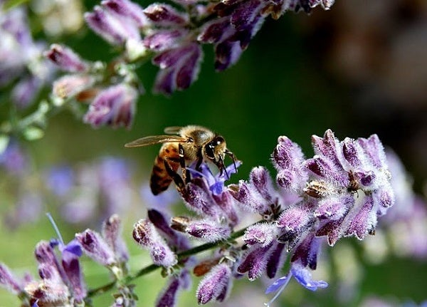 bee with russian sage