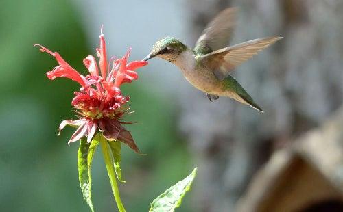 hummingbird and bee balm