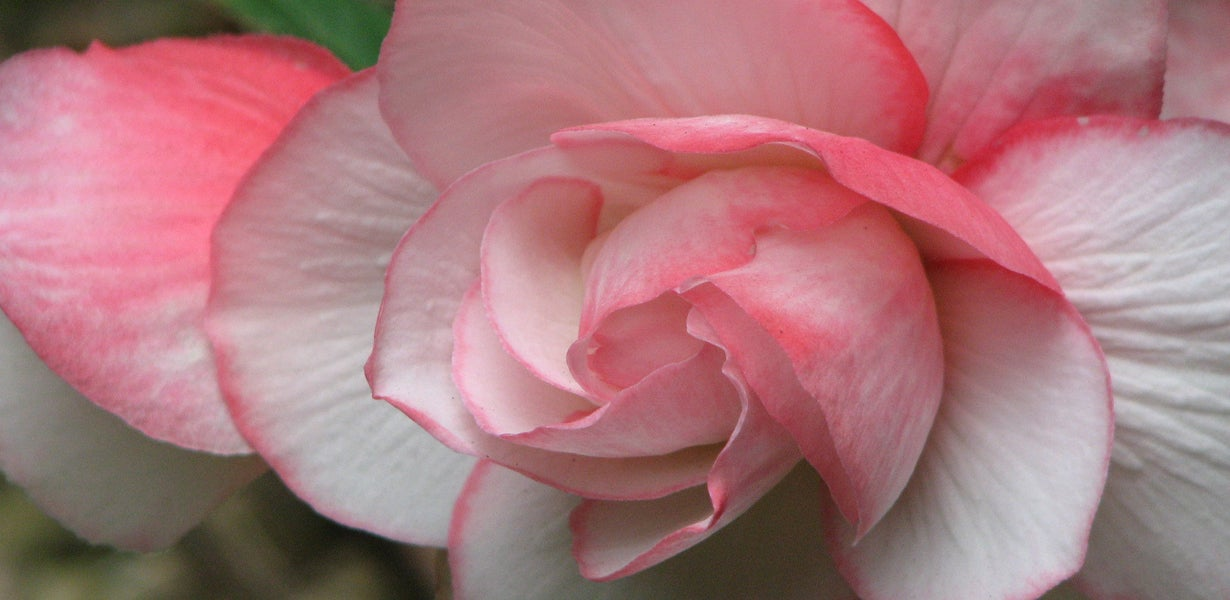 close-up of a pink begonia bloom
