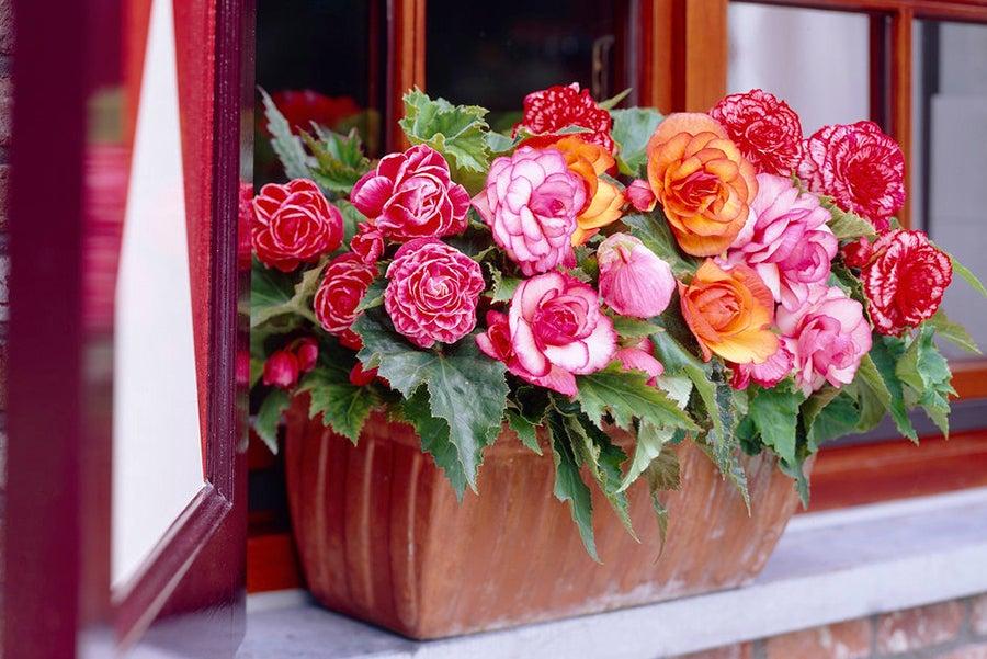 Begonias make gorgeous windowboxes.