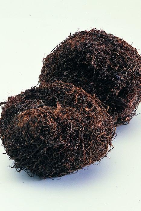 begonia tubers close up