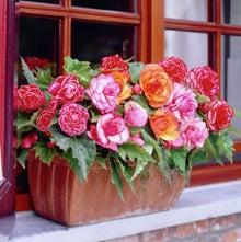begonia mix in window planter