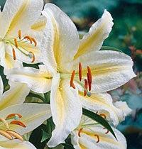 japan lily
