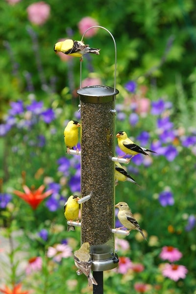 Goldfinches In The Garden