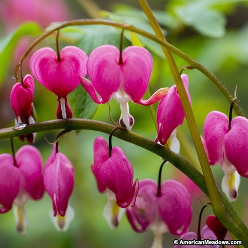 Pink Blooming Bleeding Heart