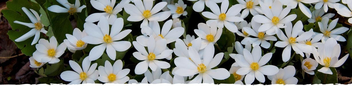 closeup of white bloodroot