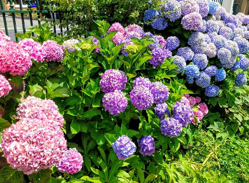 blue and pink hydrangea blooms