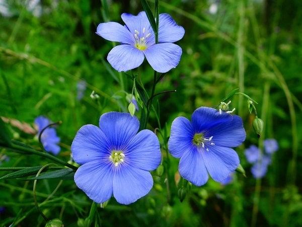 blue flax in meadow