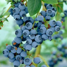 closeup of  a bunch of blueberries