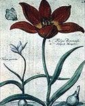 Botanical Drawing of Red Tulip
