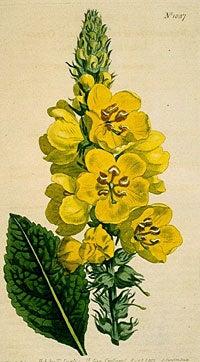 botanical mullein