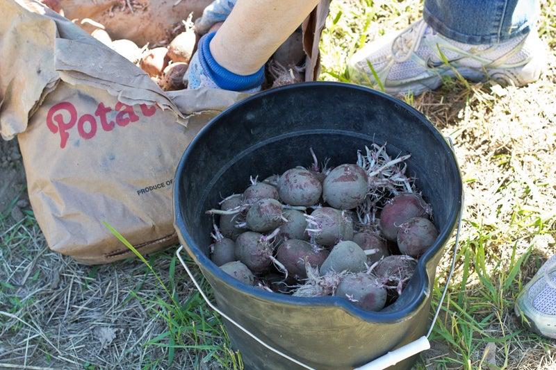 seed potatoes in a bucket