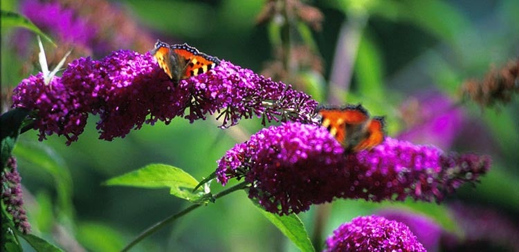 Purple Butterfly Bush with Butterfly Visitors