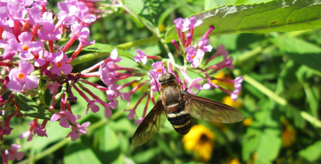 Bee with Pink Butterfly Bush