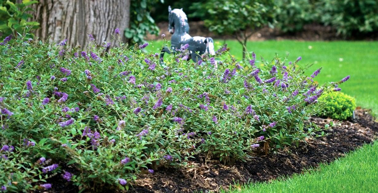 Blue Chip Butterfly Bush in Bloom