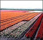 Field of Flower Bulbs