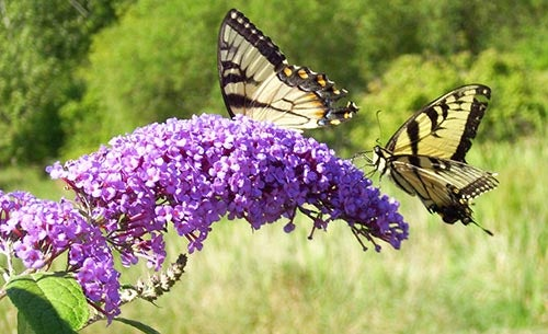 butterfly bush with two butterflies
