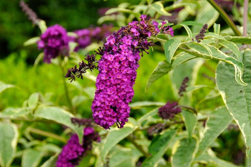 butterfly bush harlequin