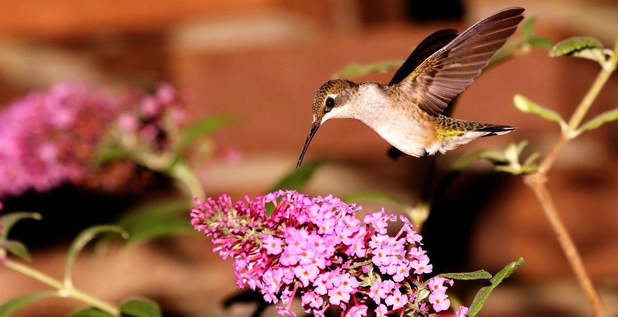 Ruby Throated Hummingbird visiting Butterfly Bush