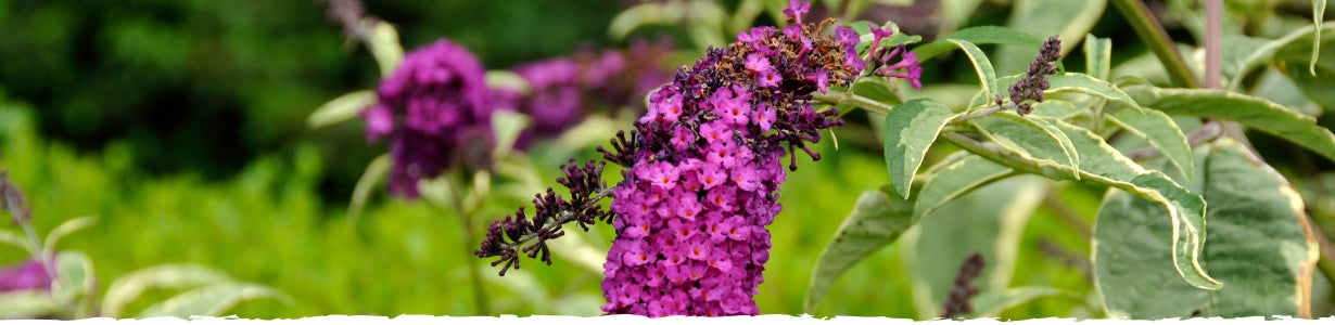 All About Butterfly Bush Banner