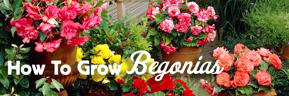How To Grow Begonias American Meadows
