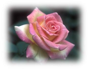 a modern tea rose