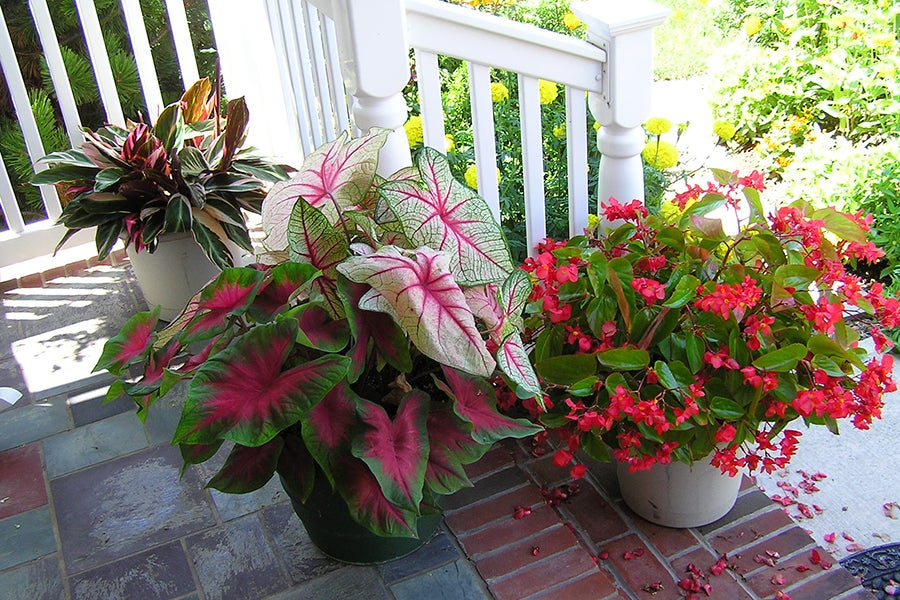 Caladium and Begonias, grown from bulbs, are lovely options for container gardens!